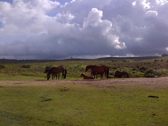 The New Forest ponies roam freely in small family herds.the mares.