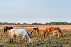 Mares and foals on the Open Forest.