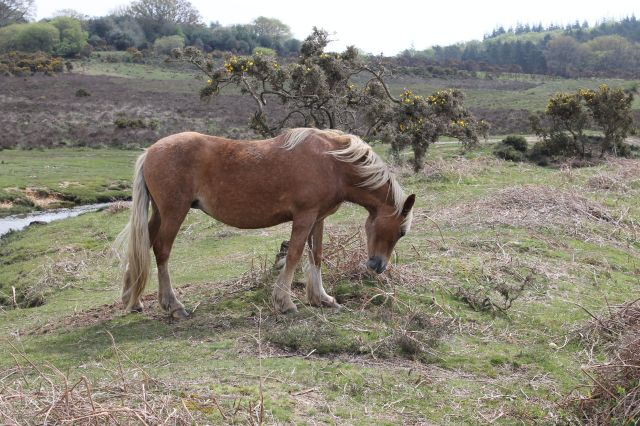 Ponies use gorse as food, shelter and a handy scratching post!