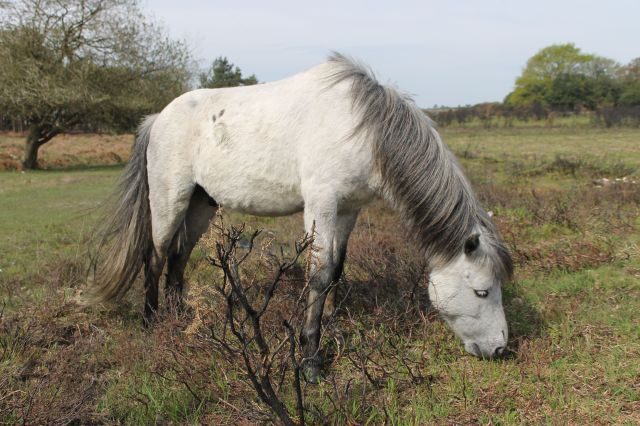 New Forest ponies know how to exploit the natural resources.